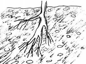 Desenho mostra uma raiz inserida verticalmente na terra, o que deve ser feito no caso de propagação por estaquia em plantas de raízes grandes.
