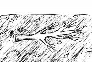 Desenho mostra uma raiz enterrada horizontalmente na terra, o que deve ser feito no caso de propagação por estaquia em plantas de raízes pequenas.